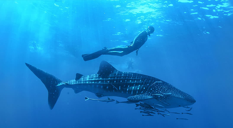 Cabo Adventures - Whale Shark Adventure